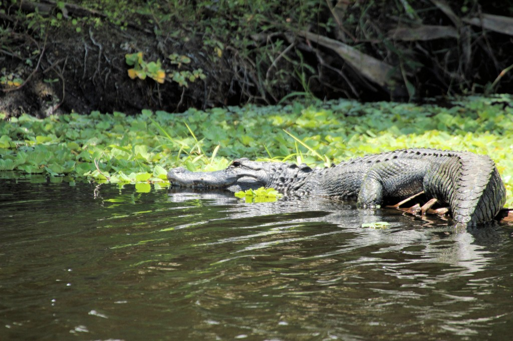 Alligator - road to Stump Lake, FL - 2012-04-22