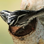 Black-and-white Warbler - Key West, FL - 2012-04-24