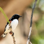 Black-throated Blue Warbler - Key West, FL - 2012-04-24