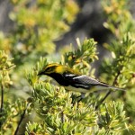 Black-throated Green Warbler on Loggerhead Key, Dry Tortugas, FL - 2012-04-25