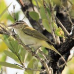 Black-whiskered Vireo - Lower Keys, FL - 2012-04-24