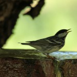 Blackpoll Warbler at fountain - Dry Tortugas, FL - 2012-04-26