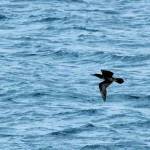 Brown Booby in flight en route to Dry Tortugas, FL - 2012-04-25