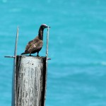 Brown Booby on marker en route to Dry Tortugas, FL - 2012-04-25