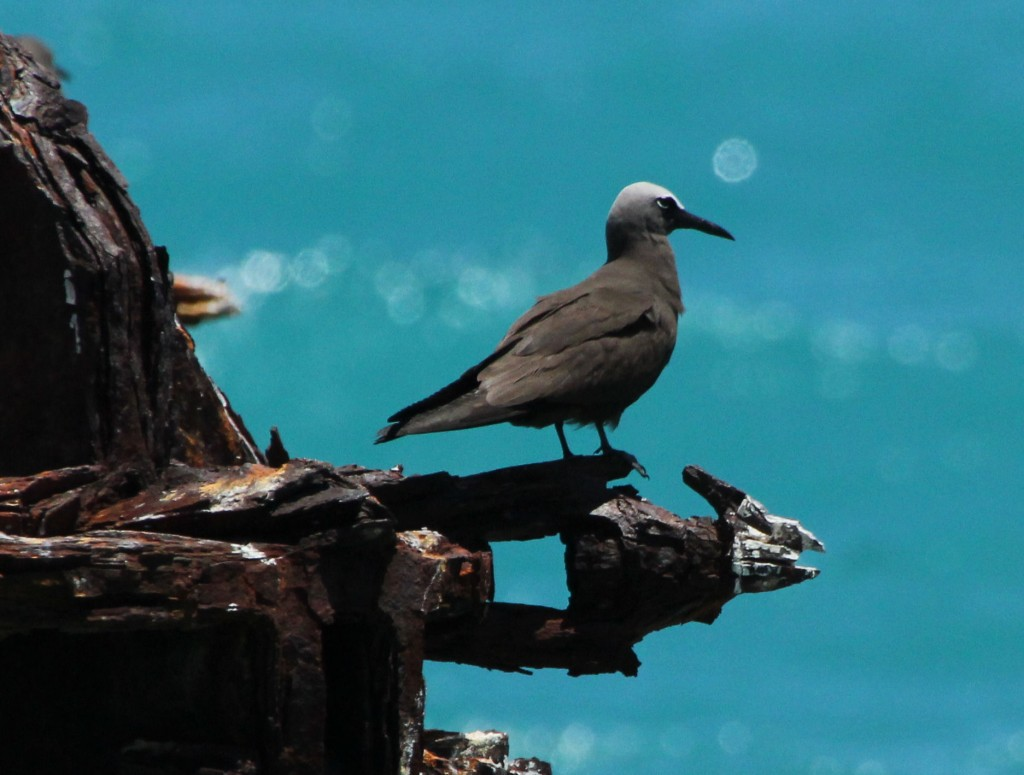 Brown Noddy on coaling dock - Dry Tortugas, FL - 2012-04-26