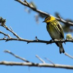 Cape May Warbler - Key West, FL - 2012-04-24