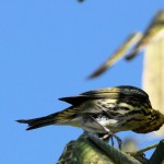 Cape May Warbler contorting to nab a fly - Key West, FL - 2012-04-24