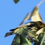 Cape May Warbler with snack - Key West, FL - 2012-04-24