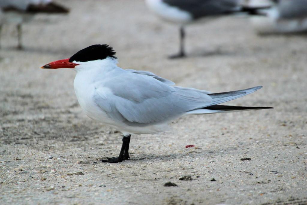Caspian Tern - near Okeechobee, FL - 2012-04-22