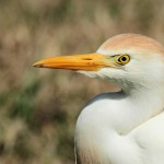 Cattle Egret close up - Dry Tortugas, FL - 2012-04-26