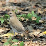 Gray-cheeked Thrush - Key West, FL - 2012-04-24