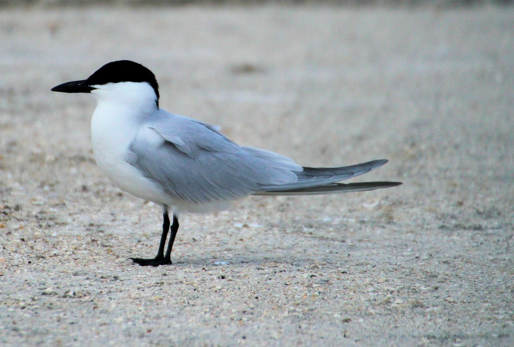 Gull-billed Tern - near Okeechobee, FL - 2012-04-22