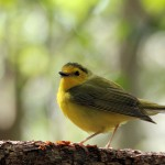 Hooded Warbler - Key West, FL - 2012-04-24
