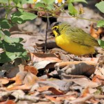 Kentucky Warbler - Key West, FL - 2012-04-24