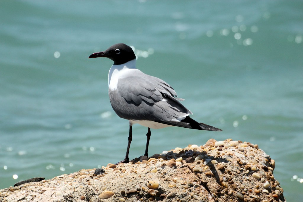 Laughing Gull on rock - Islamorada Key, FL - 2012-04-23