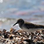 Least Sandpiper - Dry Tortugas, FL - 2012-04-26