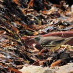 Northern Waterthrush on the beach - Dry Tortugas, FL - 2012-04-26