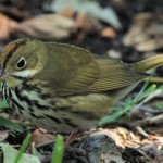 Ovenbird close up - Dry Tortugas, FL - 2012-04-26