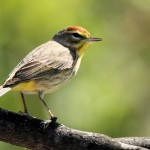 Palm Warbler - Key West, FL - 2012-04-24