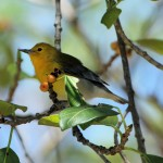 Prothonotary Warbler - Key West, FL - 2012-04-24