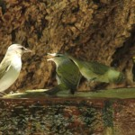 Red-eyed Vireo, 2 Tennessee Warblers, and a Black-throated Green Warbler using fountain - Dry Tortugas, FL - 2012-04-26