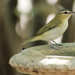 Red-eyed Vireo - Key West, FL - 2012-04-24