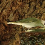 Red-eyed Vireo close up at fountain - Dry Tortugas, FL - 2012-04-26