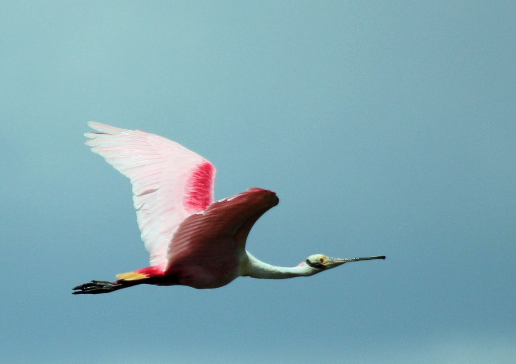 Roseate Spoonbill - Stump Lake, FL - 2012-04-22