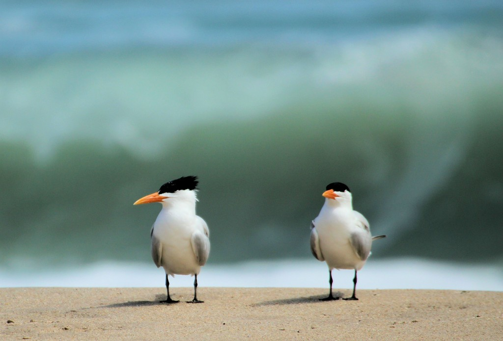 Royal Terns on beach - Sebastian River Inlet - 2012-04-22