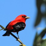 Scarlet Tanager - Key West, FL - 2012-04-24