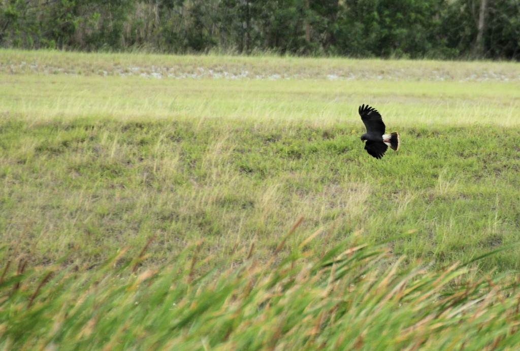 Snail Kite in flight - near Clewiston, FL - 2012-04-22
