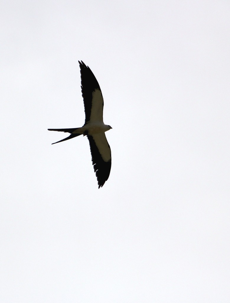 Swallow-tailed Kite - SW side of Lake Okeechobee, FL - 2012-04-22