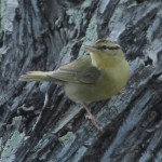 Worm-eating Warbler - Dry Tortugas, FL - 2012-04-26