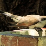 Yellow-billed Cuckoo hunched at fountain - Dry Tortugas, FL - 2012-04-26