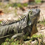 iguana - Key West, FL - 2012-04-24