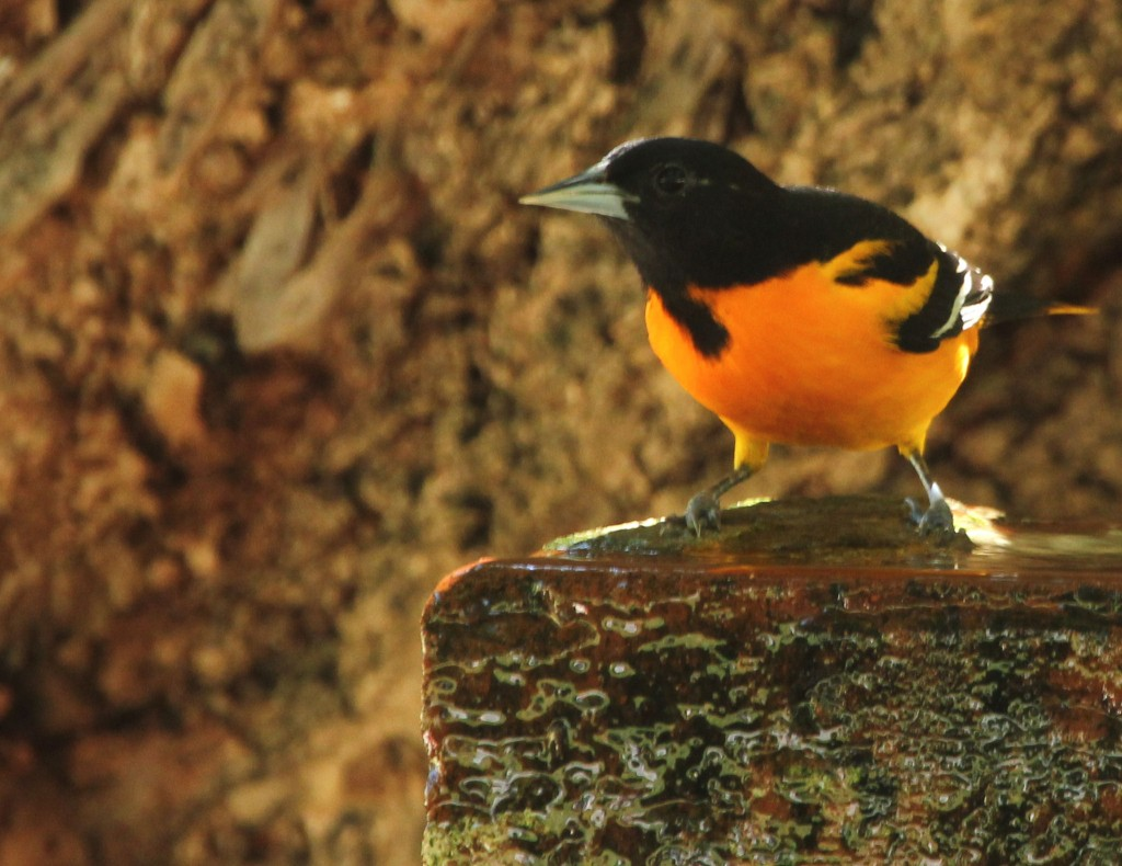 male Baltimore Oriole close up at fountain - Dry Tortugas, FL - 2012-04-26