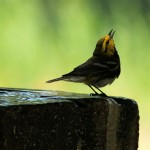 male Black-throated Green Warbler sipping water at fountain - Dry Tortugas, FL - 2012-04-26