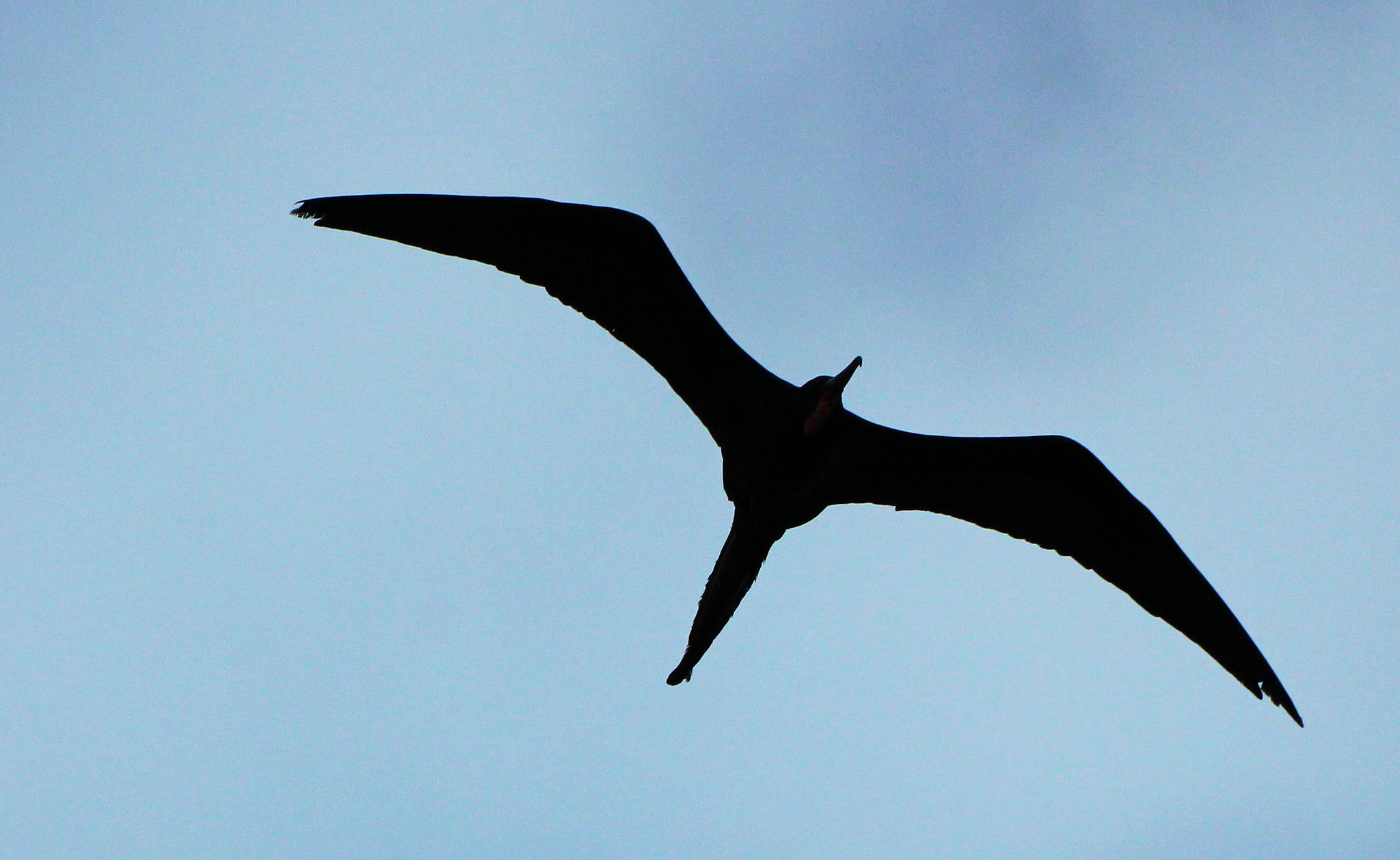 magneficent frigatebirds Magnificent frigate bird the maginificent frigate bird (fregata magnificens), previously known as man o'war or man of war, is a widespread species of bird it is widespread in the tropical atlantic, breeding colonially in trees in.