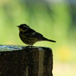 male Magnolia Warbler sipping water at fountain - Dry Tortugas, FL - 2012-04-26