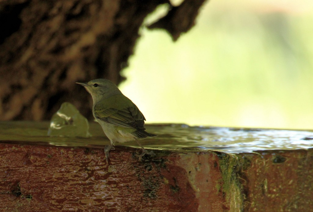 male Tennessee Warbler at fountain - Dry Tortugas, FL - 2012-04-26