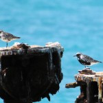molting Black-bellied Plovers on coaling dock - Dry Tortugas, FL - 2012-04-26