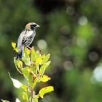 molting male Bobolink - Dry Tortugas, FL - 2012-04-26