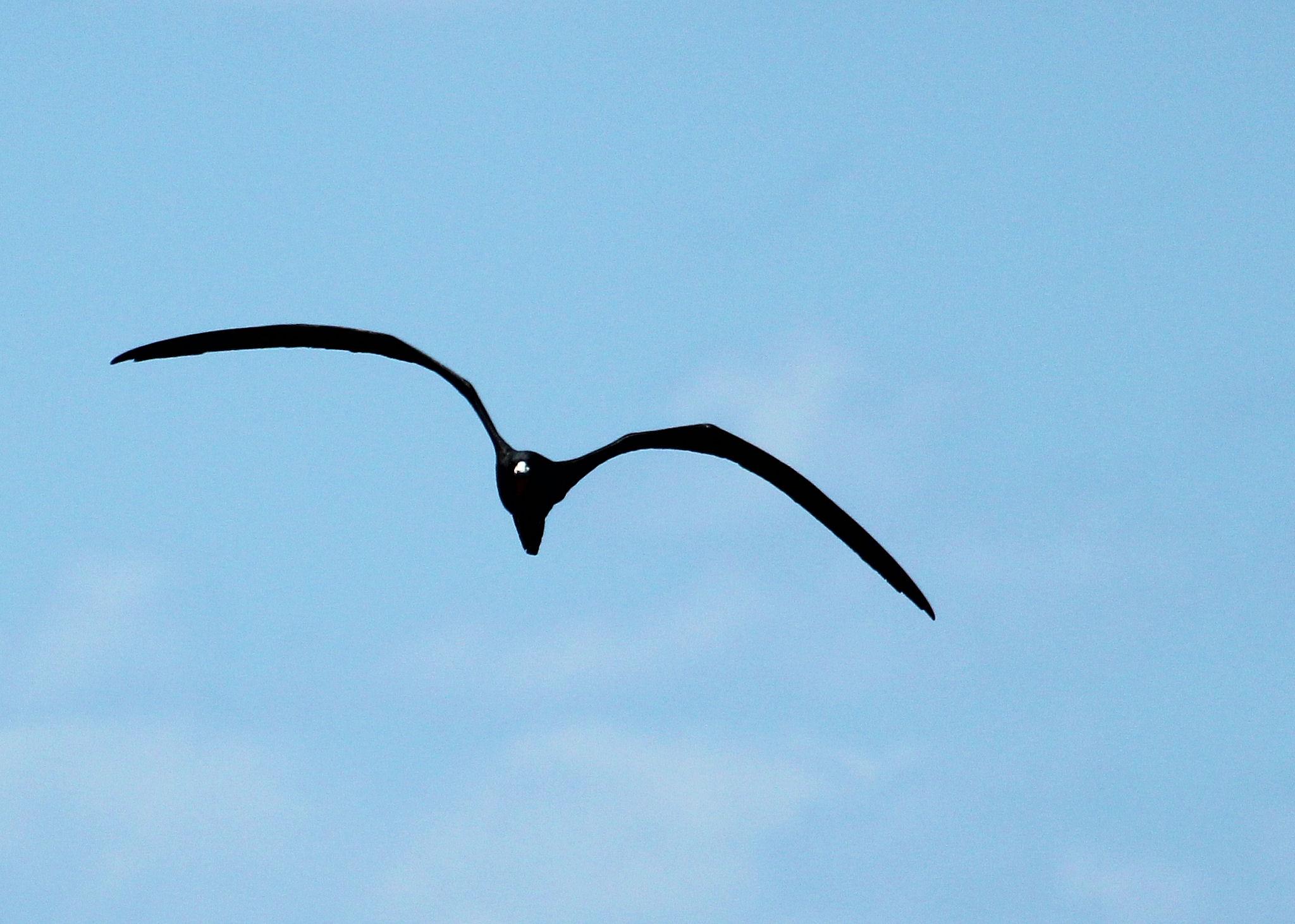 adult male magnificent frigatebird approaching 02 - Dry Tortugas, FL - 2012-04-26