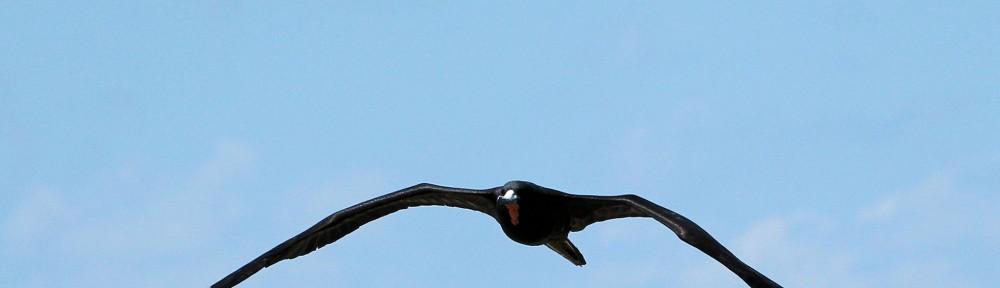 adult male magnificent frigatebird approaching 04 - Dry Tortugas, FL - 2012-04-26