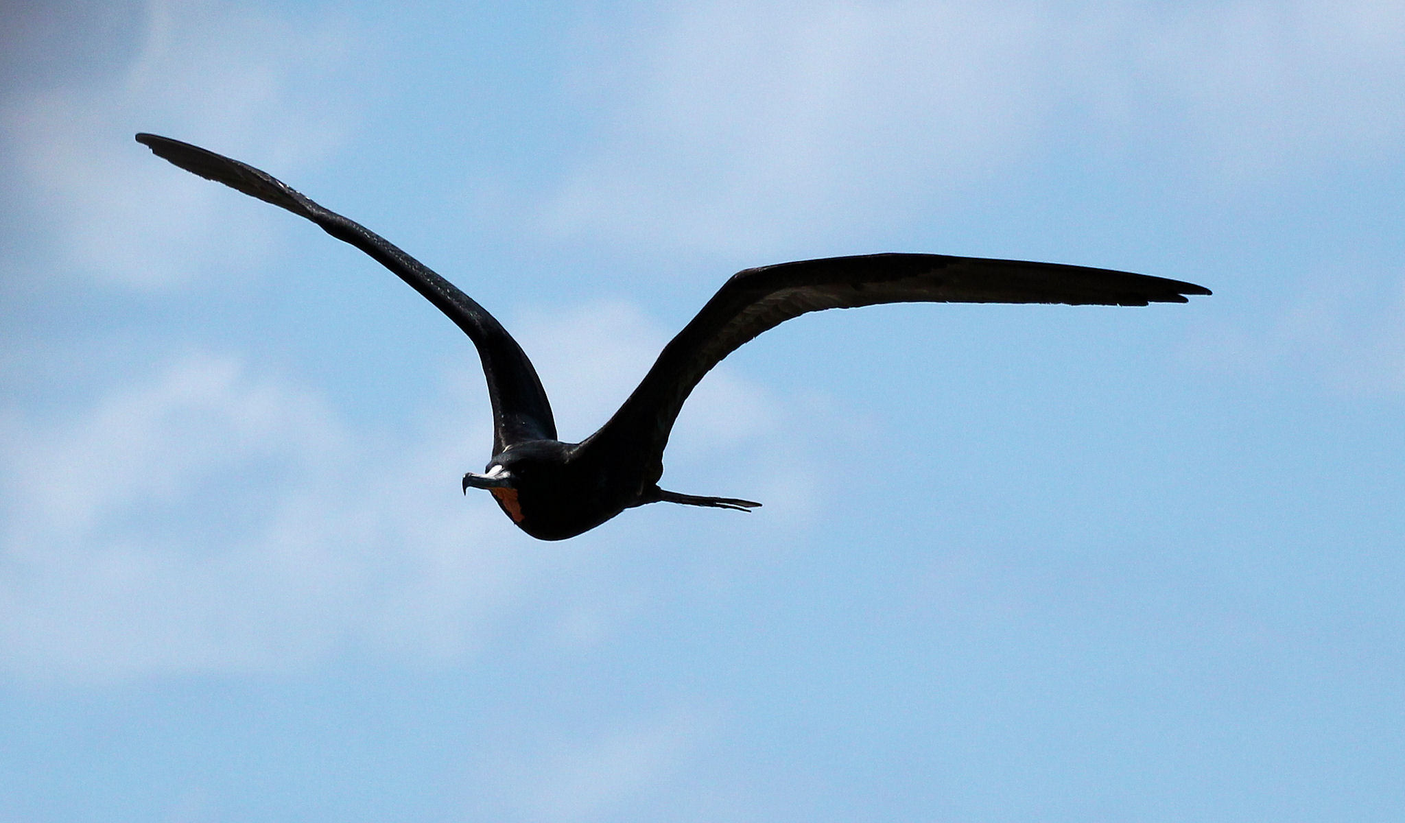 adult male magnificent frigatebird approaching 05 - Dry Tortugas, FL - 2012-04-26
