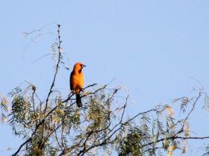Altamira Oriole in distant treetop - Bentsen Rio Grande SP - near McAllen TX - 2012-12-06