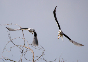 Black-shouldered Kite pair in flight - near Rio Grande River south of Harlingen TX - 2012-12-09