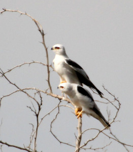 Black-shouldered Kites pair perched - near Rio Grande River south of Harlingen TX - 2012-12-09