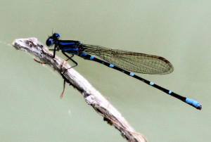 Blue-ringed Dancer - San Benito TX - 2012-12-09