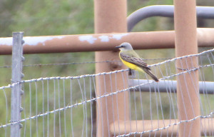 Couch's Kingbird distant on fence - Hunke Ranch - Raymondville TX - 2012-12-08
